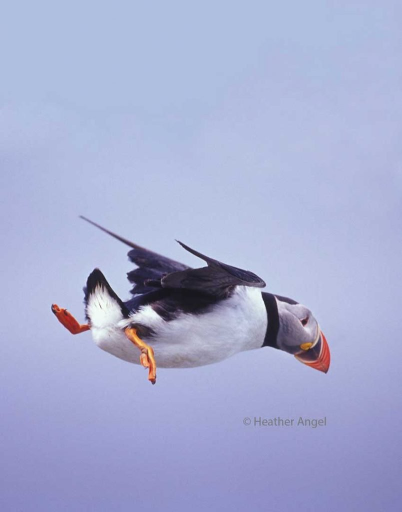 Atlantic puffin hovering in gale