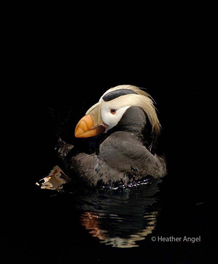 Tufted puffin swimming